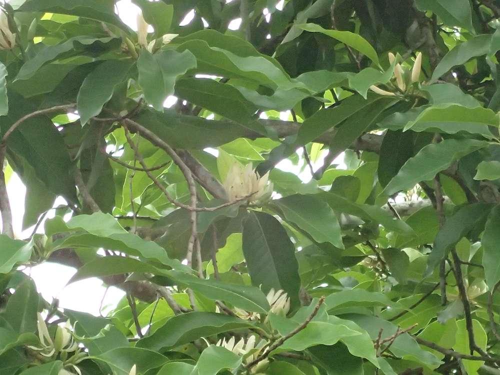 パイリンの花